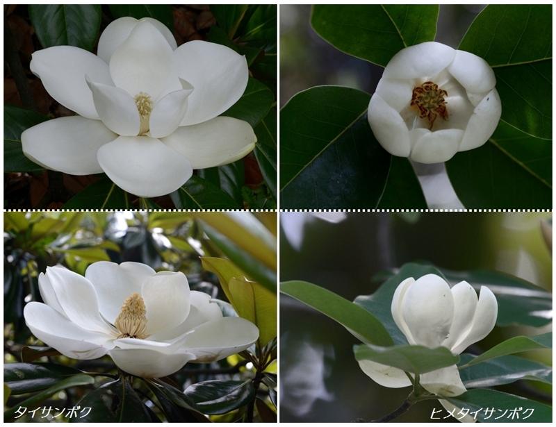 マグノリアの花たち(オオヤマレンゲ、タイサンボク)_a0204089_5161298.jpg