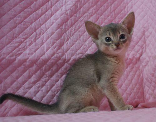 アビシニアン子猫 家族募集 ブルー レッド女の子_e0033609_19013105.jpg