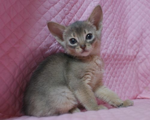 アビシニアン子猫 家族募集 ブルー レッド女の子_e0033609_19013721.jpg