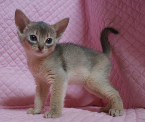 アビシニアン子猫 家族募集 ブルー レッド女の子_e0033609_19014381.jpg