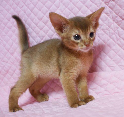 アビシニアン子猫 家族募集 ブルー レッド女の子_e0033609_19015043.jpg
