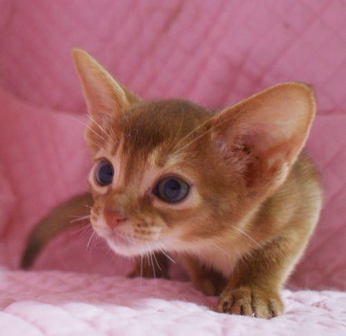 アビシニアン子猫 家族募集 ブルー レッド女の子_e0033609_19015682.jpg