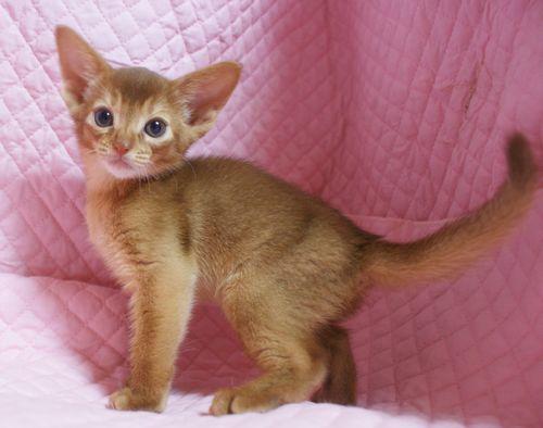 アビシニアン子猫 家族募集 ブルー レッド女の子_e0033609_19020242.jpg