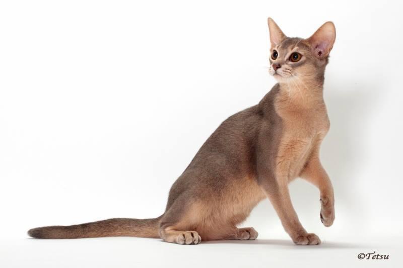 アビシニアン子猫 家族募集 ブルー レッド女の子_e0033609_19032870.jpg