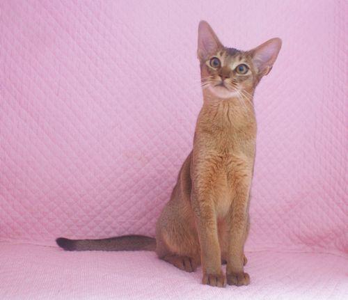 アビシニアン子猫 家族募集 ブルー レッド女の子_e0033609_19070925.jpg