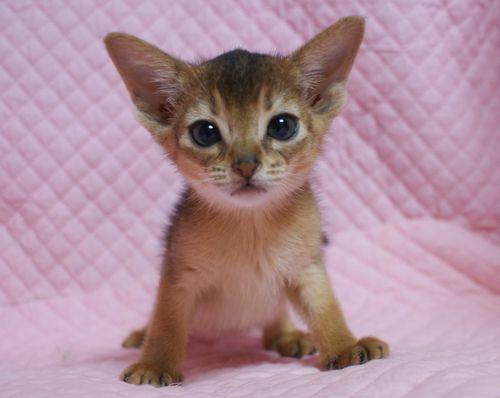 アビシニアン子猫 家族募集 ブルー レッド女の子_e0033609_19124532.jpg