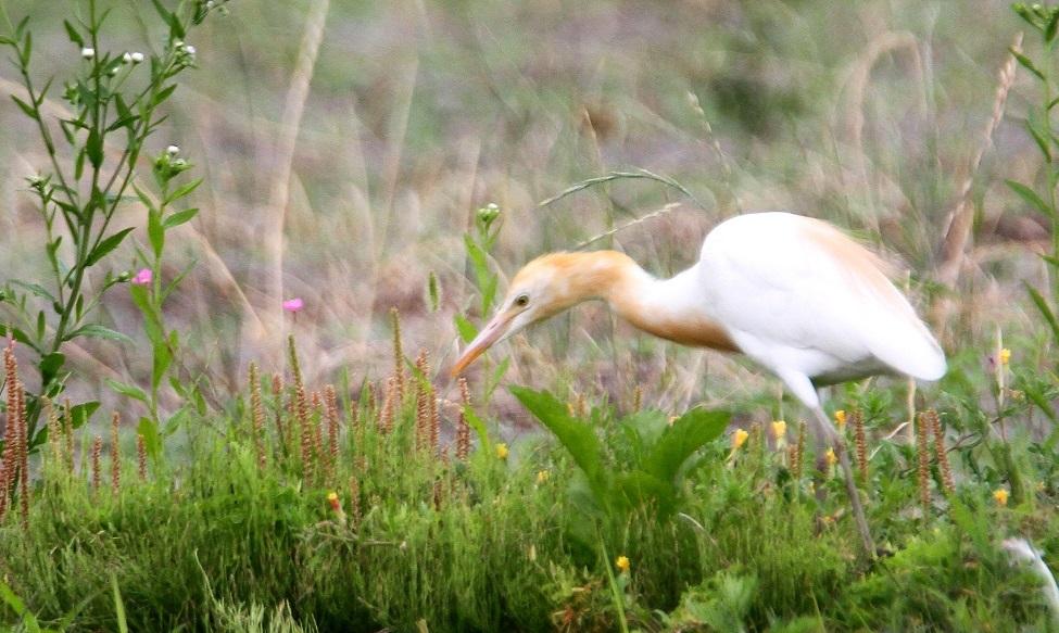 草原の中のアマサギ ①_f0364220_14144858.jpg