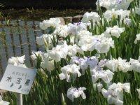 77種類の花菖蒲が咲き誇っています。_c0133422_2371766.jpg