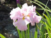 77種類の花菖蒲が咲き誇っています。_c0133422_2384467.jpg