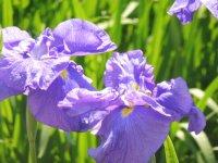 77種類の花菖蒲が咲き誇っています。_c0133422_2395185.jpg