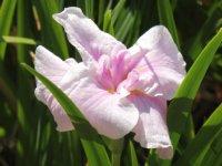 77種類の花菖蒲が咲き誇っています。_c0133422_241035.jpg