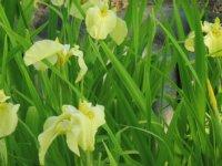 77種類の花菖蒲が咲き誇っています。_c0133422_2443978.jpg