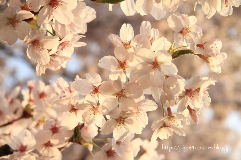 夕暮れ桜♪_d0367763_16351233.jpg