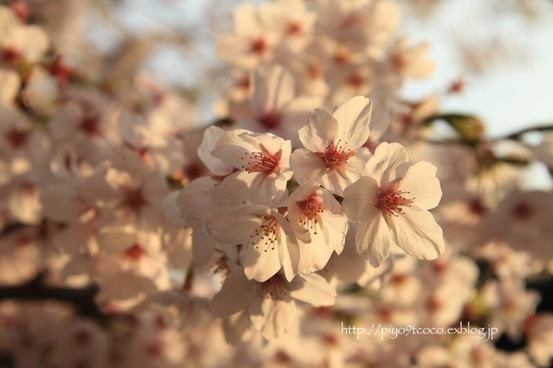 夕暮れ桜♪_d0367763_16351356.jpg