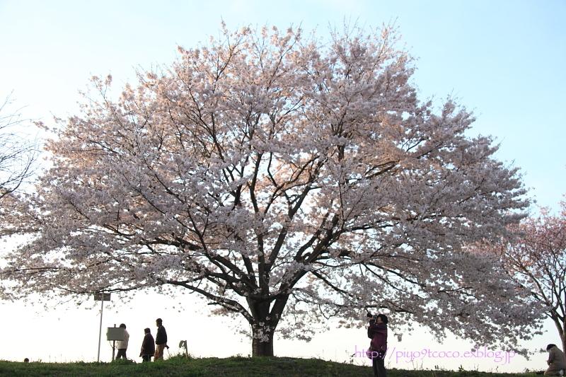 夕暮れ桜♪_d0367763_16351615.jpg