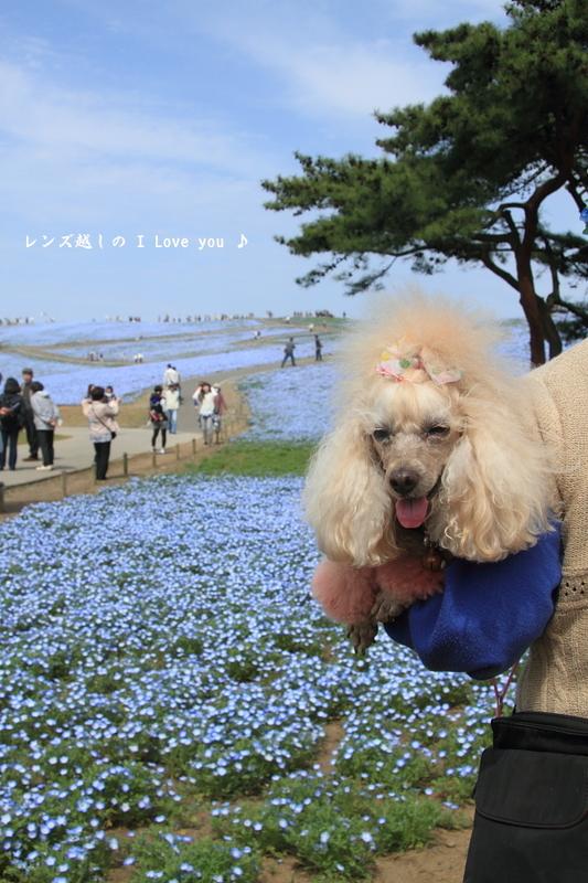 ネモフィラ*ひたち海浜公園♪_d0367763_16354160.jpg