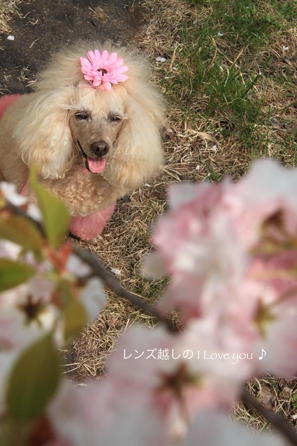 八重桜まつり*静峰ふるさと公園♪_d0367763_17250937.jpg