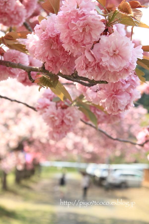 八重桜まつり*静峰ふるさと公園♪_d0367763_17250982.jpg