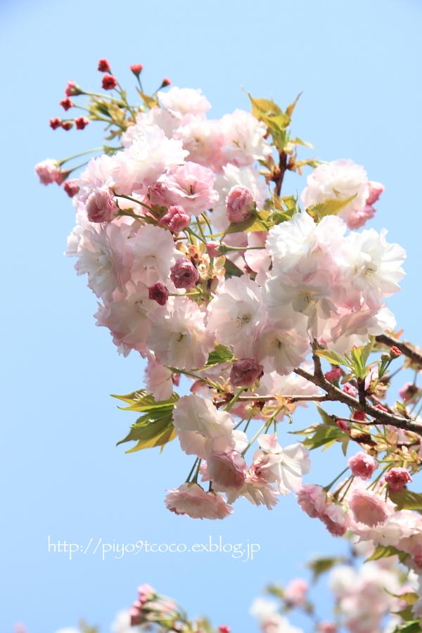 八重桜まつり*静峰ふるさと公園♪_d0367763_17251054.jpg