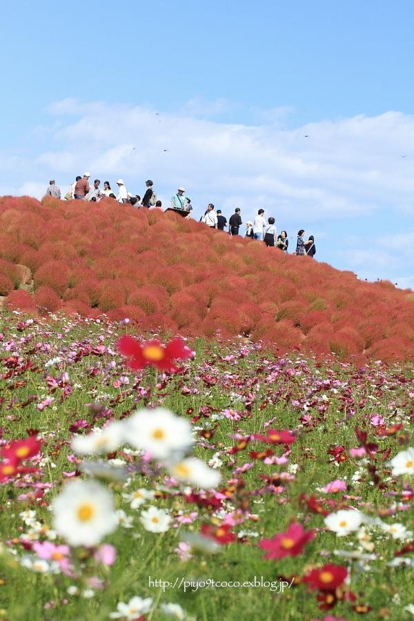 コキアの紅葉♪ ~ひたち海浜公園~_d0367763_20461544.jpg