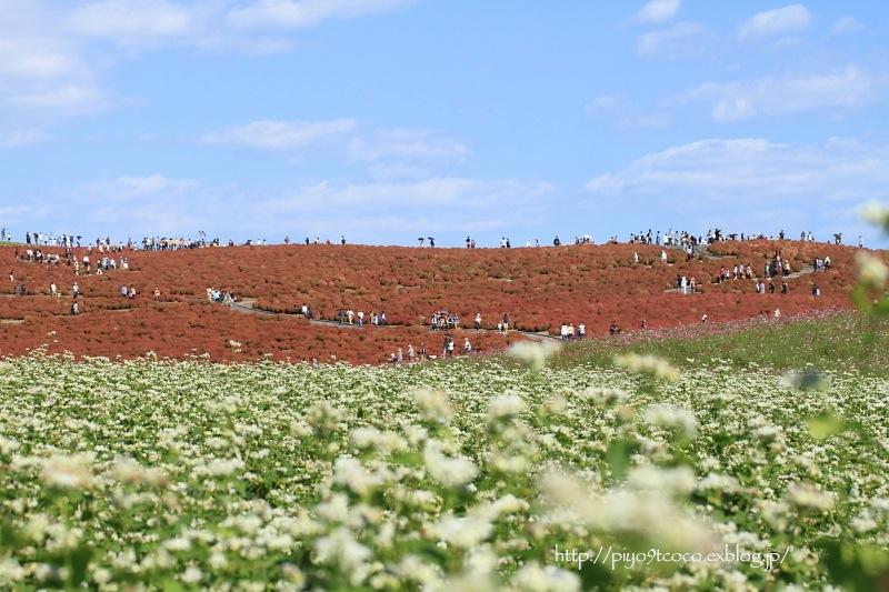 コキアの紅葉♪ ~ひたち海浜公園~_d0367763_20461699.jpg