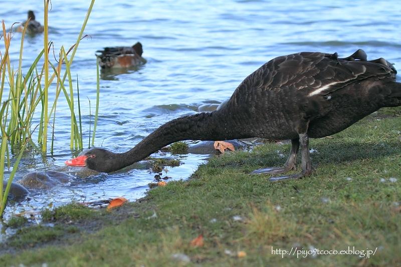 Black Swan ♪_d0367763_20465676.jpg
