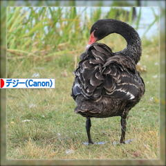 Black Swan ♪_d0367763_20470043.jpg