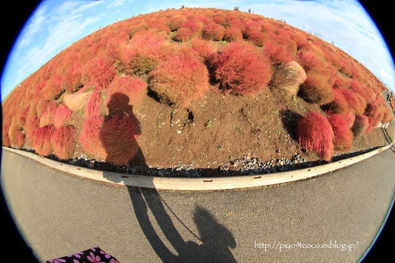 コキアの紅葉3♪ ~ひたち海浜公園~_d0367763_20470435.jpg