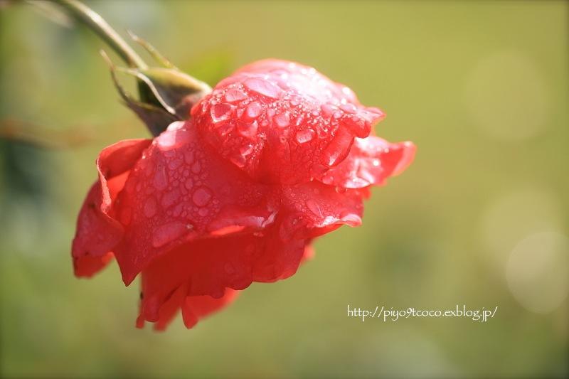秋の薔薇に雫♪_d0367763_20472706.jpg