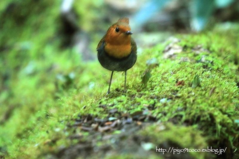 コマドリ成鳥と幼鳥♪その2(2013)_d0367763_21464954.jpg