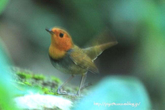 コマドリ成鳥と幼鳥♪その2(2013)_d0367763_21465074.jpg