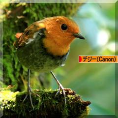 コマドリ成鳥と幼鳥♪その2(2013)_d0367763_21465192.jpg