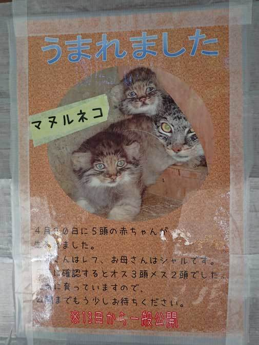 マヌルネコ五つ子赤ちゃんデビュー!!(埼玉県こども動物自然公園)_b0355317_21502615.jpg
