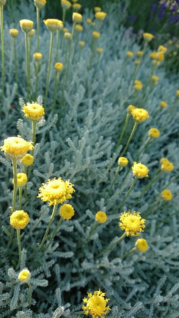 サントリナの花が可愛すぎる。_e0254750_18565542.jpg