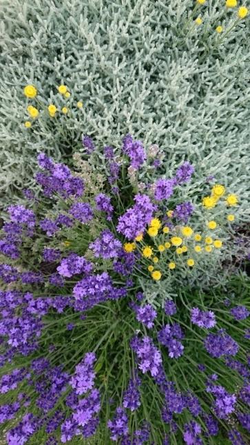 サントリナの花が可愛すぎる。_e0254750_18565839.jpg