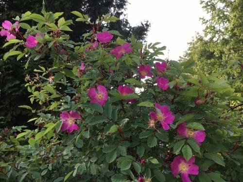 ローズハマナスと今の庭_e0326953_22414798.jpg