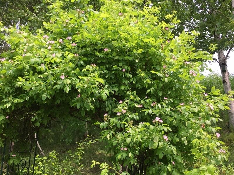 ローズハマナスと今の庭_e0326953_22424776.jpg