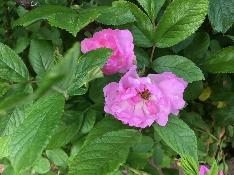 ローズハマナスと今の庭_e0326953_22455425.jpg