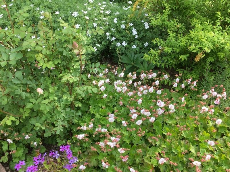 ローズハマナスと今の庭_e0326953_22485268.jpg