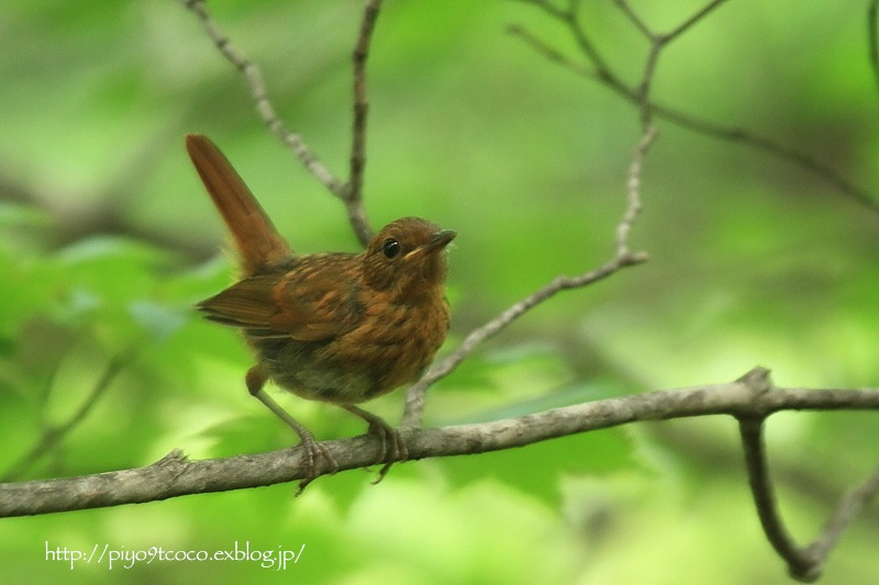 コマドリ幼鳥と成鳥♪_d0367763_18363361.jpg