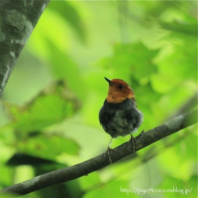 コマドリ幼鳥と成鳥♪_d0367763_18363437.jpg