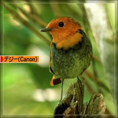 コマドリ幼鳥と成鳥♪_d0367763_18363553.jpg
