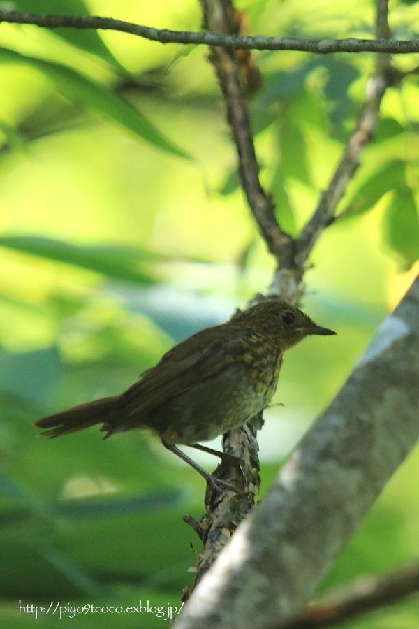 コマドリ幼鳥と成鳥♪_d0367763_18363571.jpg