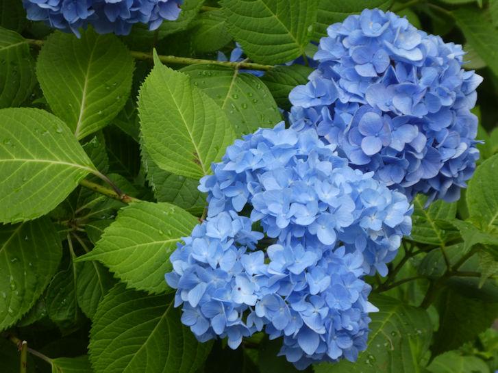 鎌倉の紫陽花_c0051620_6284923.jpg