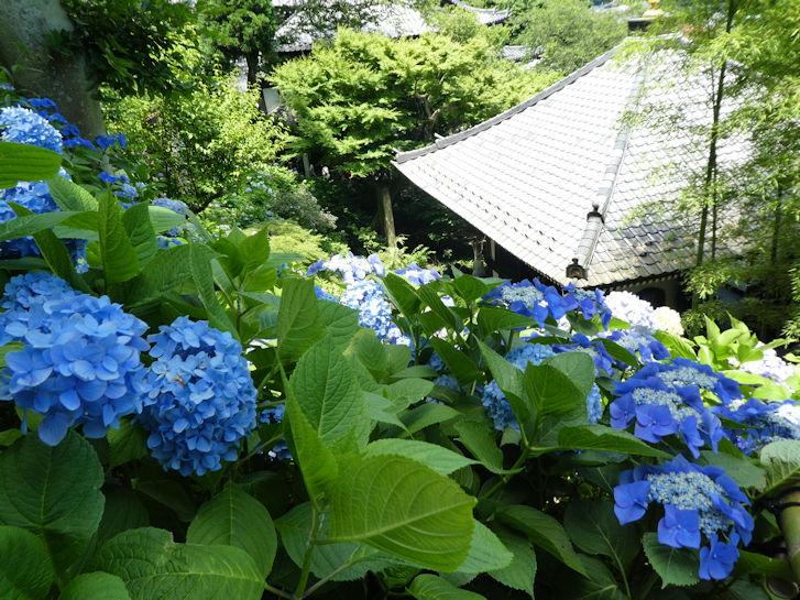 鎌倉の紫陽花_c0051620_6293857.jpg