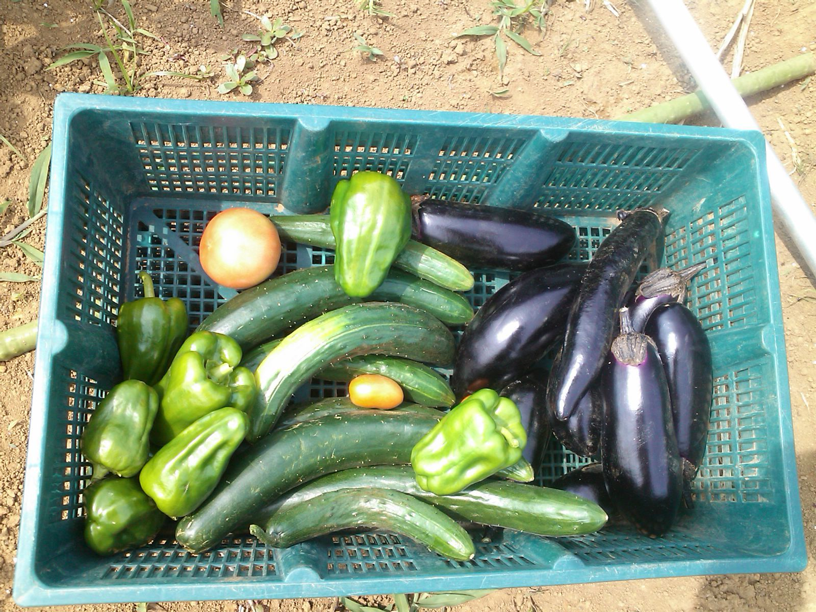 スイカはバレーボールに..夏野菜は元気!_b0137932_20210205.jpg
