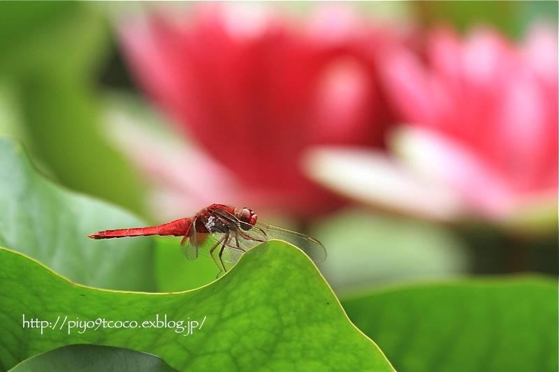 猩々蜻蛉*ショウジョウトンボ♪_d0367763_19461540.jpg