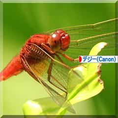 猩々蜻蛉*ショウジョウトンボ♪_d0367763_19461611.jpg
