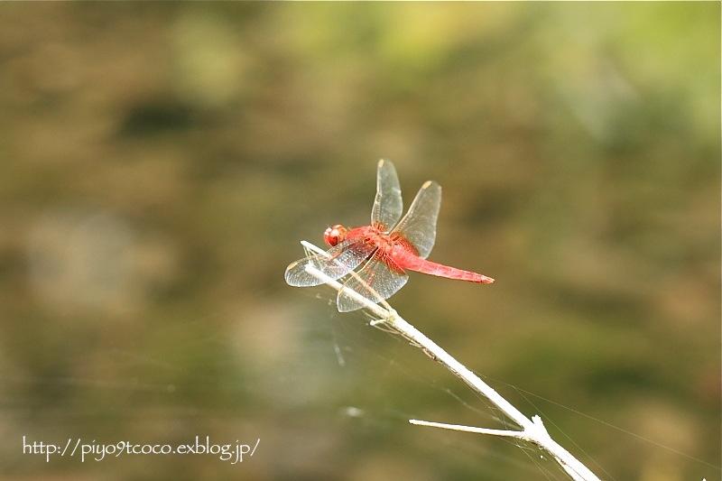 猩々蜻蛉*ショウジョウトンボ♪_d0367763_19461617.jpg