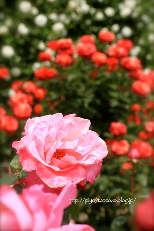 Rose Garden ♪ ~国営ひたち海浜公園~_d0367763_21080970.jpg